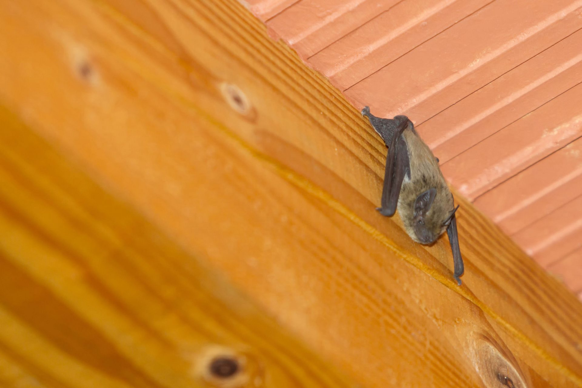 What to Do if You See a Bat in Your House | Pest Control Services in Baltimore | Raven Termite & Pest Control