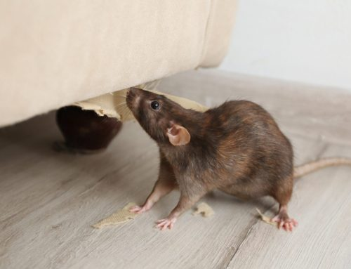 How to Handle a Rodent Problem