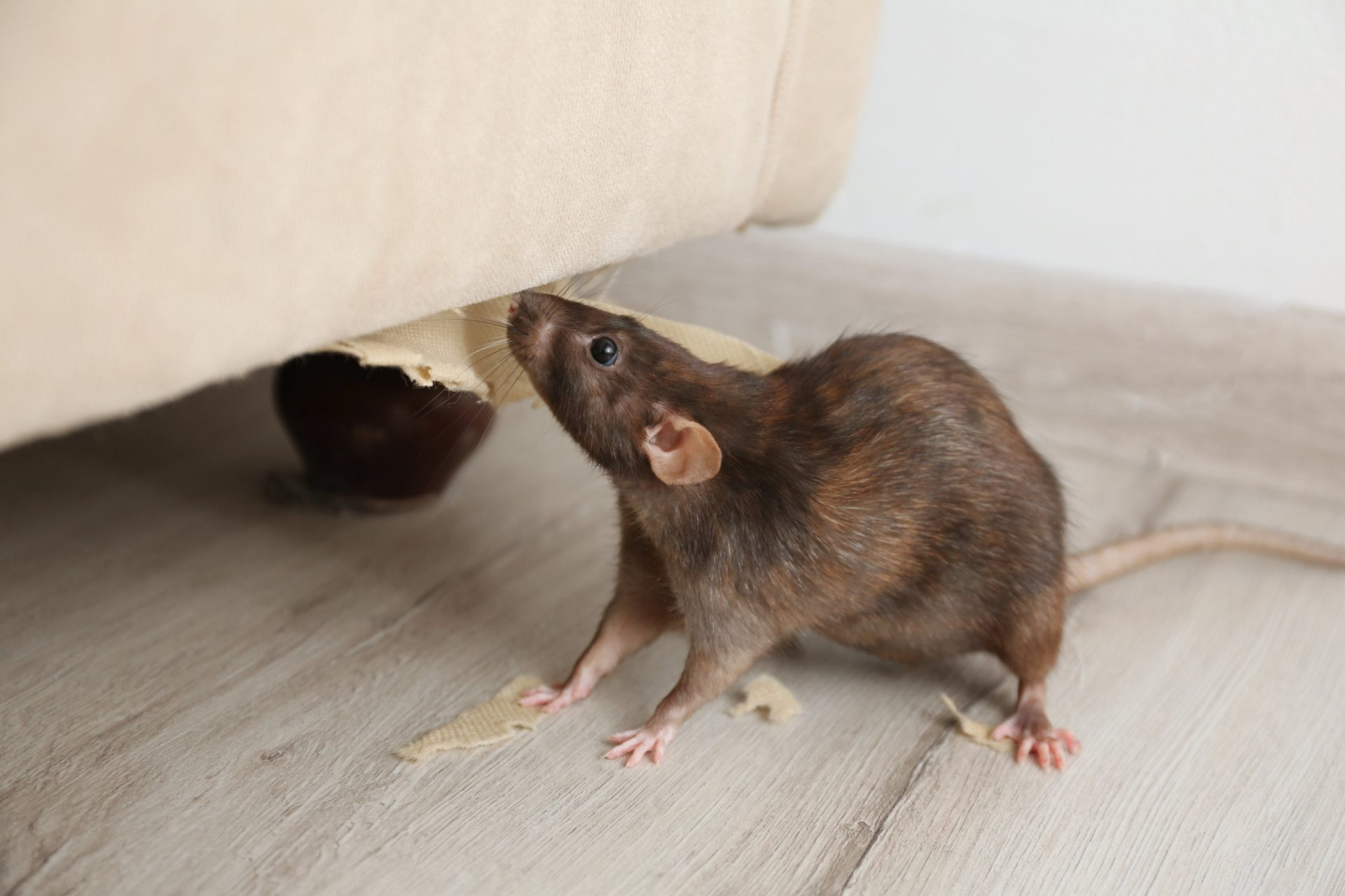How to Handle a Rodent Problem | Exterminator in Severna Park | Raven Termite and Pest Control