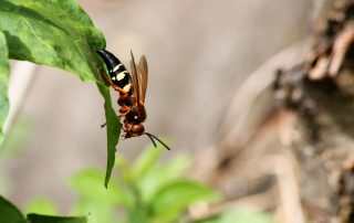 What is a Cicada Killer? | Exterminator in Columbia