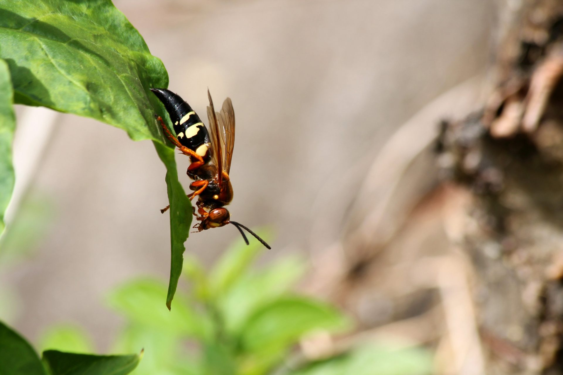 What is a Cicada Killer?   Exterminator in Columbia