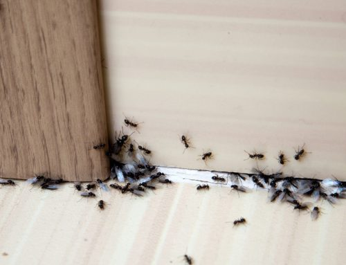Eliminate Ants… for Good!