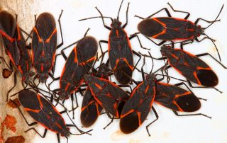 Have You Noticed the Boxelder Bug Around Your Property   exterminators in Maryland   Raven termite & Pest Control