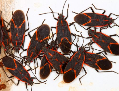 Have You Noticed the Boxelder Bug Around Your Property?