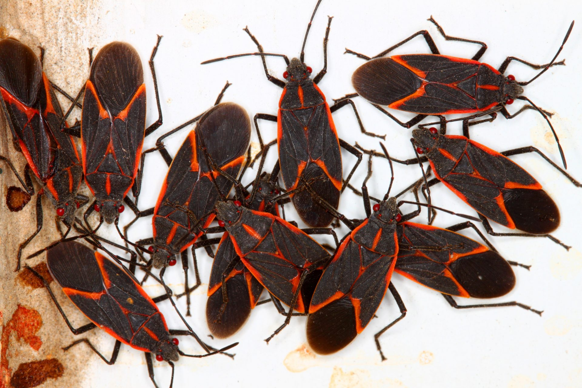Have You Noticed the Boxelder Bug Around Your Property | exterminators in Maryland | Raven termite & Pest Control