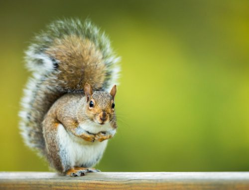 Get Rid of Squirrels on Your Property